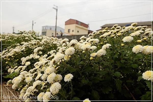 苗栗杭菊033001.JPG