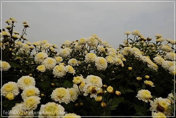 苗栗杭菊043001.JPG