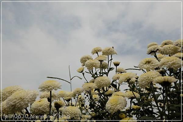 苗栗杭菊050001.JPG