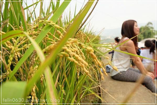 苗栗杭菊053001.JPG