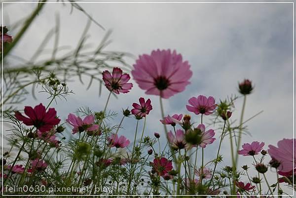 苗栗杭菊058001.JPG