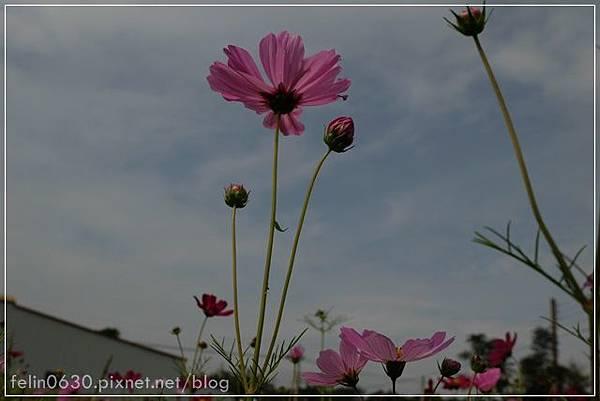 苗栗杭菊063001.JPG
