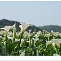 竹子湖海芋DSCF4129-20140406.JPG