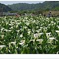 竹子湖海芋DSCF4124-20140406.JPG