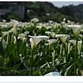 竹子湖海芋DSCF4128-20140406.JPG