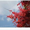 陽明山棲樹(楓紅)