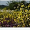 竹子湖海芋DSCF4160-20140406.JPG