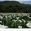 竹子湖海芋DSCF4163-20140406.JPG