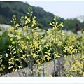 竹子湖海芋DSCF4198-20140406.JPG