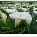 竹子湖海芋DSCF4210-20140406.JPG