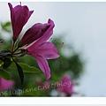 陽明山杜鵑花