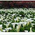 竹子湖海芋DSCF4248-20140406.JPG
