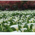 竹子湖海芋DSCF4249-20140406.JPG