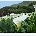 竹子湖海芋DSCF4260-20140406.JPG