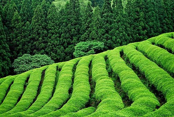 高山茶.jpg