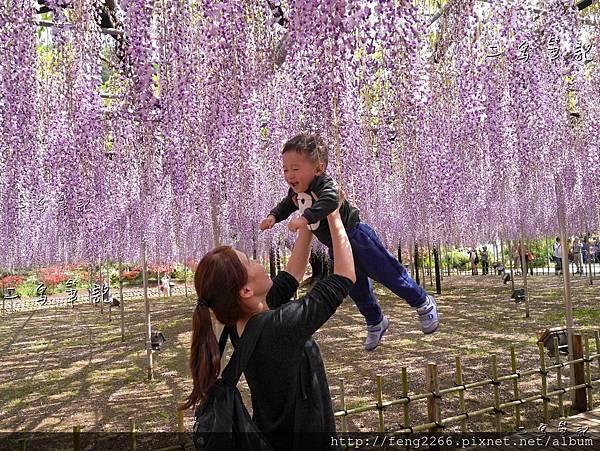 (日本栃木縣 足利花卉公園) 沉浸花香中的夢幻紫藤花季