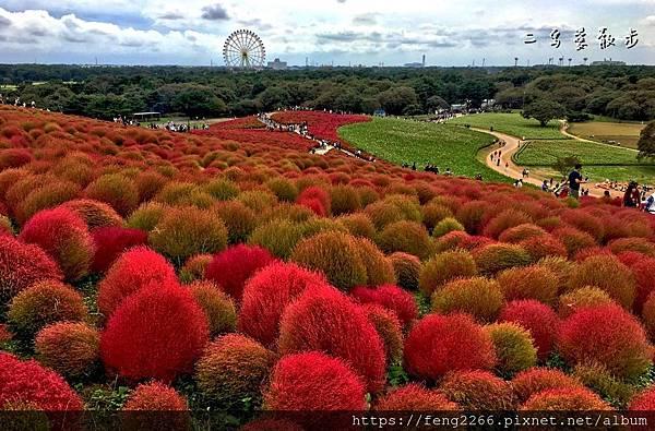 【日本茨城縣】秋季限定紅色毛茸茸掃帚草
