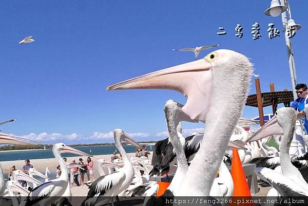 【澳洲】黃金海岸野生大嘴鳥餵食秀