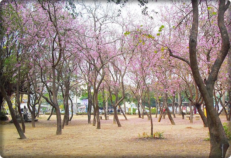 台南公園櫻花1