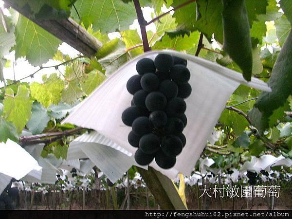 大村敏園葡萄