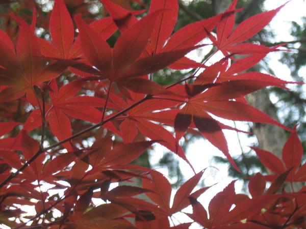 南禪寺的紅楓