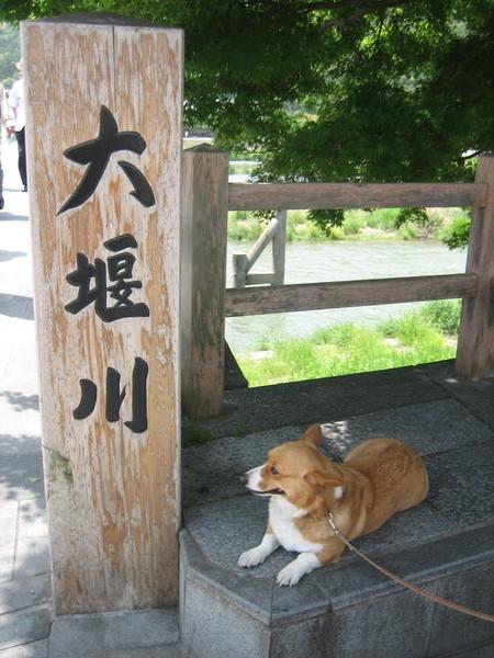 嵐山渡月橋前的正在納涼狗狗