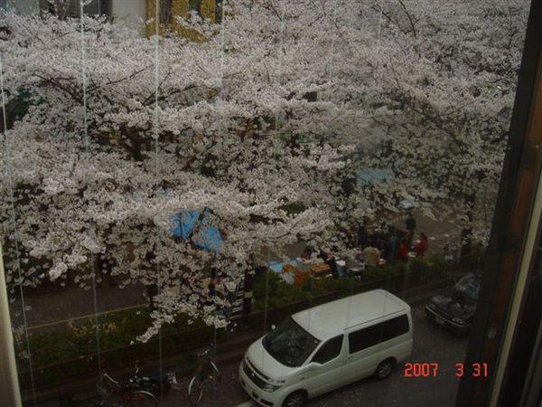 從窗外看全是櫻花