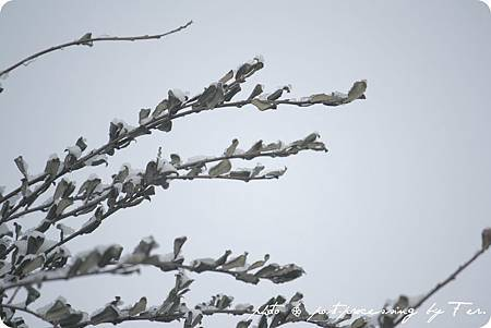 積了雪的樹枝