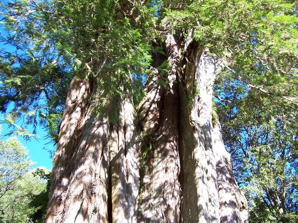 真的長好大的樹啊~