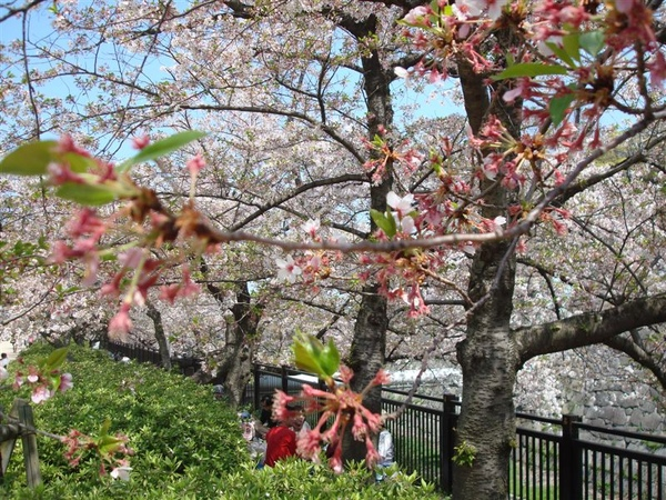 還是櫻花~~