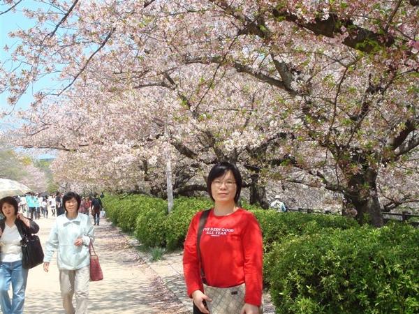 大家都要在櫻花樹下拍照