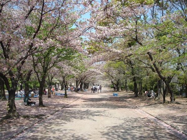 一大排的櫻花樹看起來很有fu~