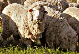 Merino_sheep.png
