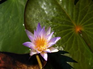 lotus06