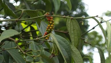 pepperblack02