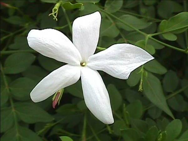 jasmine grandiflourum