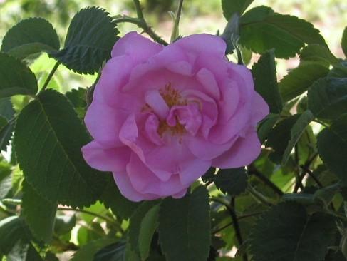 玫瑰01.j