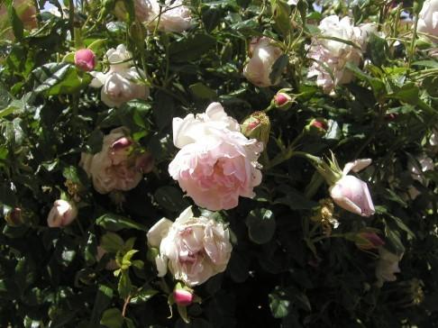 玫瑰02.j
