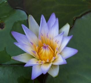 lotus07