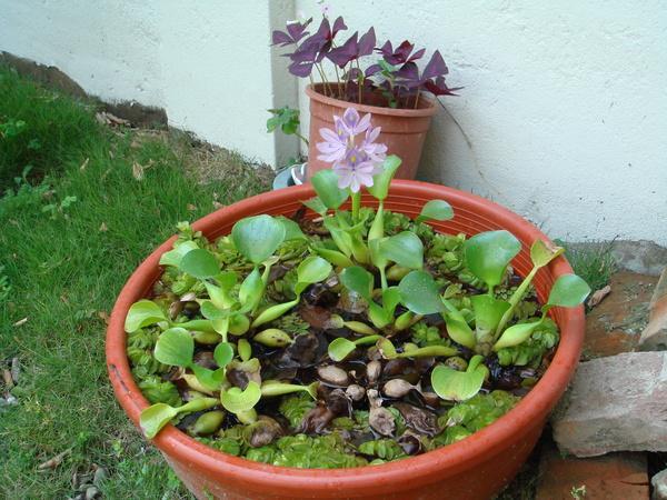庭院開花浮萍