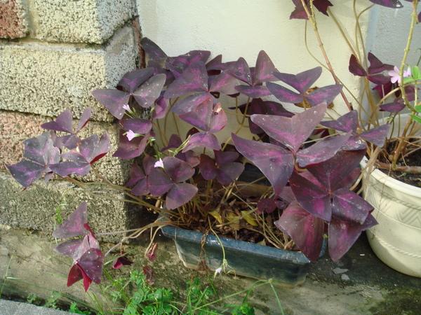 紫色炸醬草