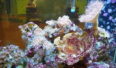 人  工培育的活珊瑚