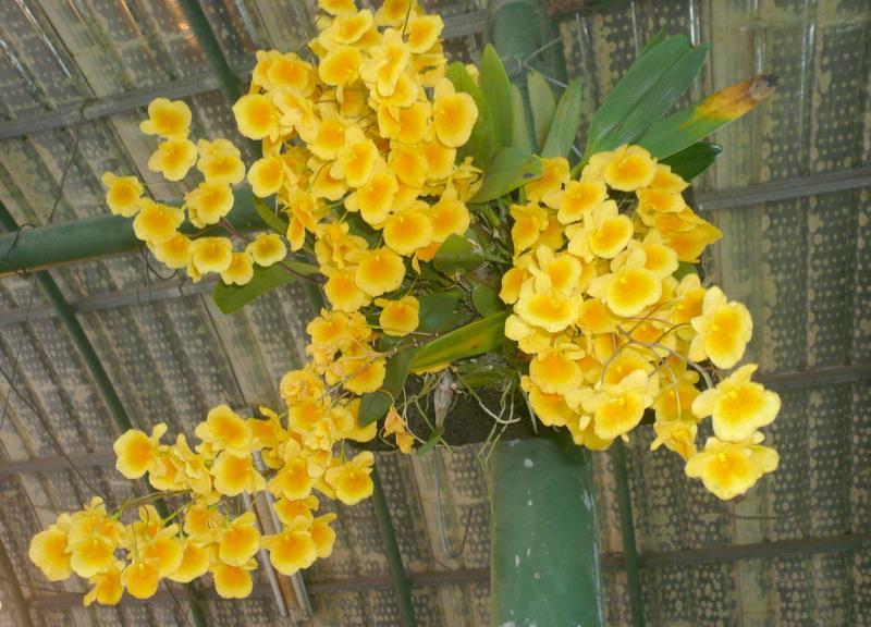 黃金石斛蘭