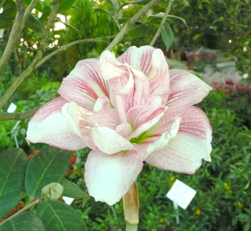 沙漠玫瑰花