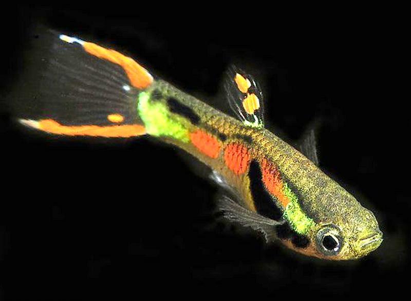 好美的孔雀魚