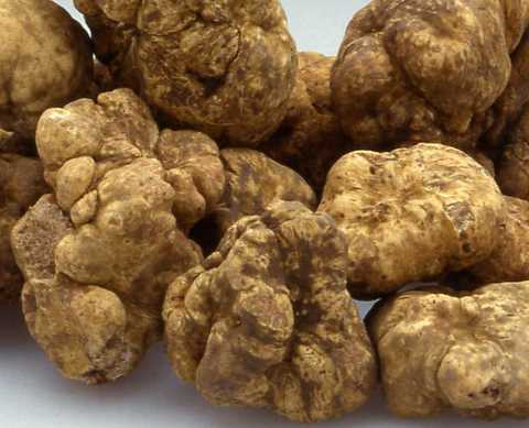 白松露white truffle.jpg
