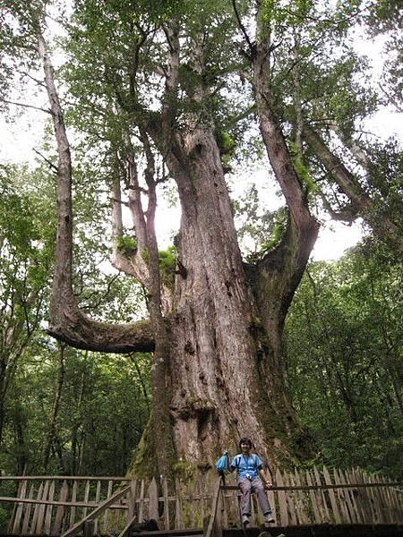 最大的一棵巨木