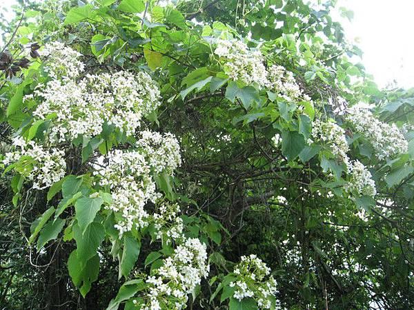 竹60也滿滿是桐花