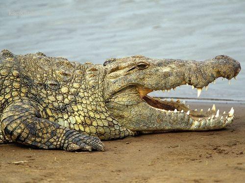 鱷魚1.jpg