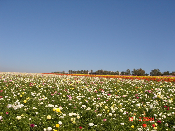 the flower field 4.JPG